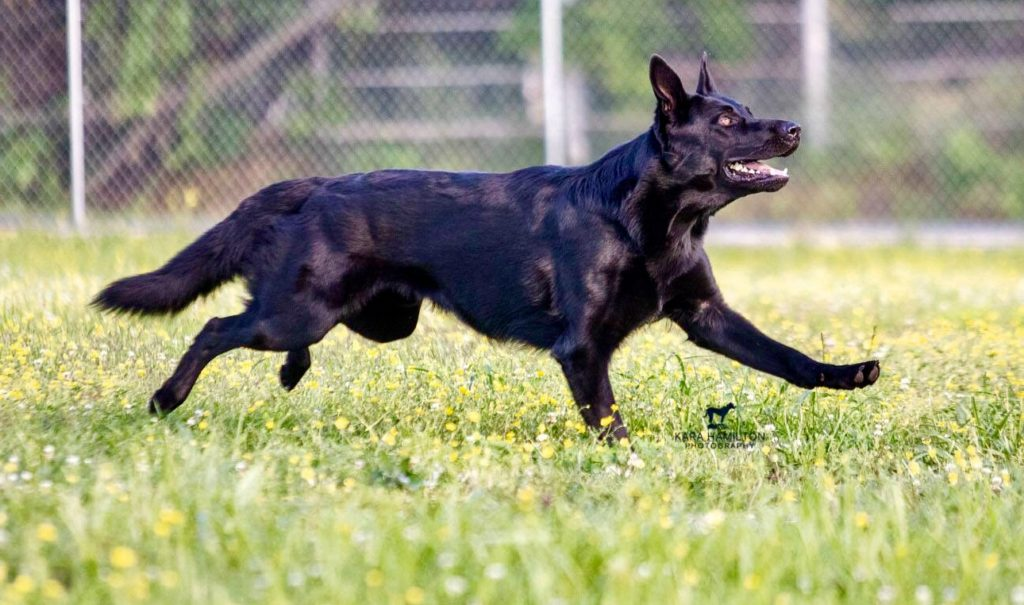 Finding a healthy German Shepherd Puppy